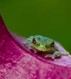 因为肋前缘查找了青蛙青蛙生长高典型地暗示命名尼加拉瓜其他巴拿马rica结构树结构树植被 免版税图库摄影