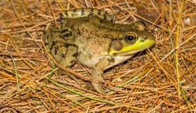 因为肋前缘查找了青蛙青蛙生长高典型地暗示命名尼加拉瓜其他巴拿马rica结构树结构树植被 免版税库存图片