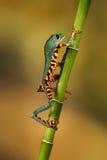 因为肋前缘查找了青蛙青蛙生长高典型地暗示命名尼加拉瓜其他巴拿马rica结构树结构树植被 库存照片