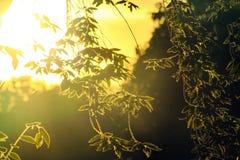 因为背景通过灌木,发光大灌木太阳是光亮的 免版税图库摄影