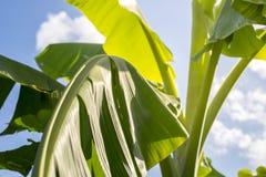 因为他们在多雨,香蕉叶子鲜绿色 库存照片