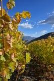 因特罗德,奥斯塔,意大利高山山村的葡萄园  免版税图库摄影