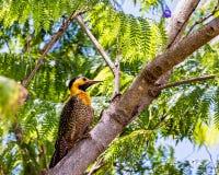 园地忽悠啄木鸟鸟- Colaptes campestris -在树枝 库存照片