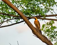 园地忽悠啄木鸟鸟- Colaptes campestris -在树枝 图库摄影