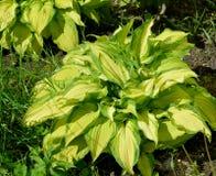 园林植物Khosta (Funkiya),等级  免版税图库摄影