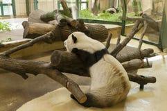 困大熊猫 免版税库存图片