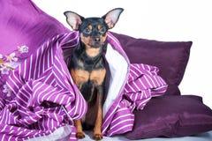 困小狗在毯子包裹的床上 免版税图库摄影