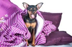 困小狗在毯子包裹的床上 库存图片