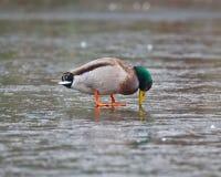 困惑的野鸭鸭子 免版税图库摄影