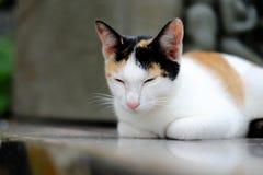困泰国猫 免版税库存照片