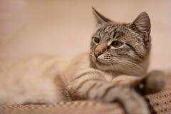 困灰色猫 免版税库存照片