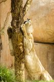 困狮子在徒步旅行队公园 免版税图库摄影