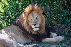 困狮子在树荫下 图库摄影
