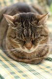 困猫 免版税库存图片