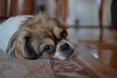 困的小狗 免版税库存图片