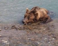 困的熊 库存照片