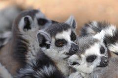 困的狐猴 免版税库存照片