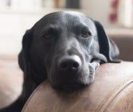 困的狗 库存照片