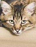 困的猫 免版税库存图片