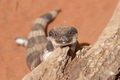 困的蜥蜴 免版税库存图片