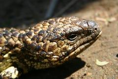 困的蜥蜴 免版税库存照片