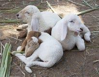 困羊羔 免版税库存照片