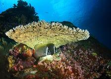 困难珊瑚 库存照片