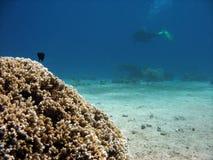 困难的珊瑚 库存照片