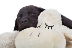 困黑色拉布拉多的小狗 免版税库存照片