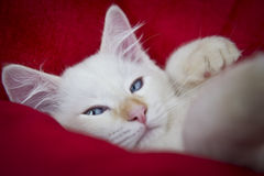 困Ragdoll猫 免版税库存照片