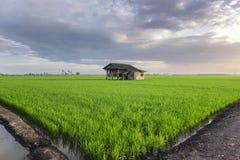围拢与绿色水稻领域的被毁坏的木房子视图 免版税库存图片