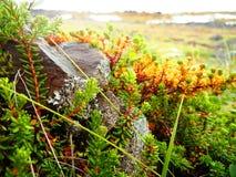 围拢岩石的绿色和黄色岩高兰植物 免版税库存图片