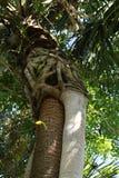 围拢帕尔姆树干的扼杀的藤 免版税图库摄影