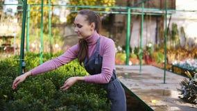 围裙的年轻女性卖花人审查和安排与绿色黄杨木潜叶虫的花盆在架子 的少妇 股票录像