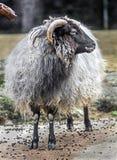 国内公羊 库存图片