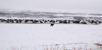 国内牲口母牛冬天风景 免版税库存照片