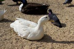 国内的鸭子 图库摄影