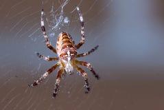 国内蜘蛛极端特写镜头宏指令在网的有黑暗的背景 库存图片