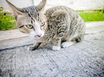 国内行动动物题材猫特写镜头逗人喜爱的猫,行动猫 库存图片