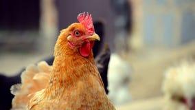 国内鸡步行和吃草绿草 股票录像