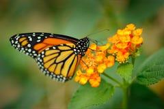 国君,丹尼亚斯plexippus,蝴蝶在自然栖所 从墨西哥的好的昆虫 在绿色森林细节特写镜头po的蝴蝶 免版税库存图片
