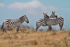 国家公园斑马 免版税库存照片