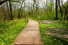 国家公园Ropotamo保加利亚 木桥导致Ropotamo河流桥渡绿色春天森林 库存图片