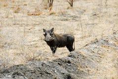 国家公园selous warthog 免版税库存图片