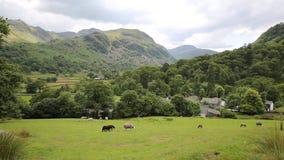 国家场面绵羊在领域Seatoller Borrowdale Valley湖区Cumbria英国英国 股票视频