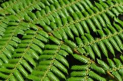 国家标志:树蕨在新西兰 库存图片
