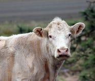 国家母牛的画象 库存图片