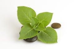 国家琉璃苣,印地安琉璃苣,锦紫苏amboinicus Lour (Plectranthus amboinicus (Lour )) 免版税库存图片
