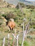 国家(地区)母牛横向 免版税图库摄影