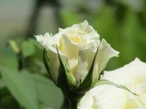 国家(地区)花开花热带白色 免版税库存照片